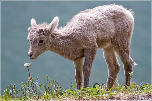 Bighorn_lamb_Alberta, resized