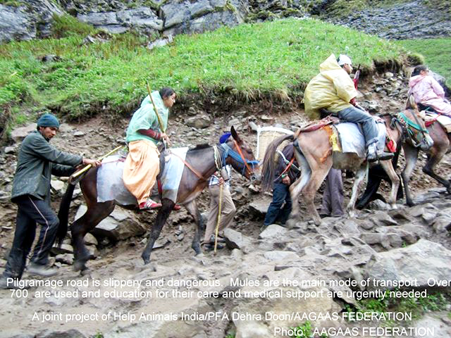mules in Uttarakhand resized 1017586_534151963313888_155430785_n