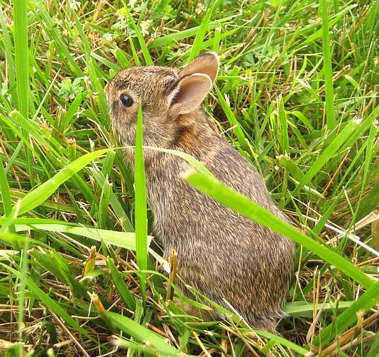 500px-Baby_rabbit