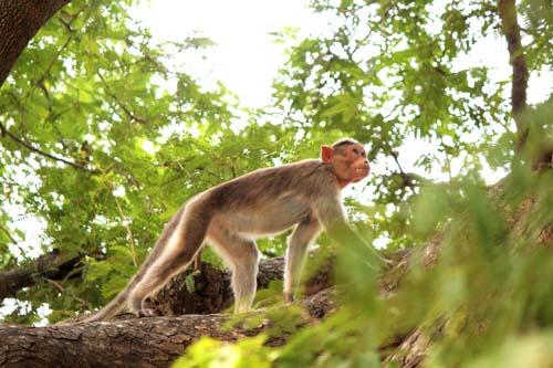 macaque Pavupathu sacred grove phsh 2013IMG_6540 2
