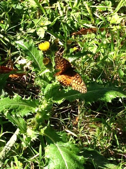 editedSag 2  butterfly