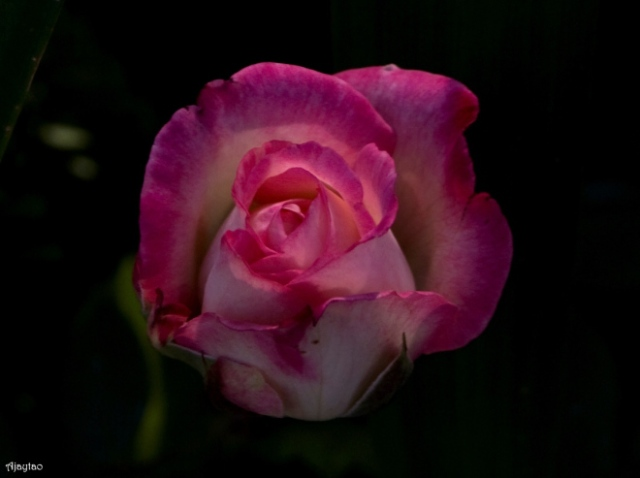 White & Pink Rose - Ajaytao