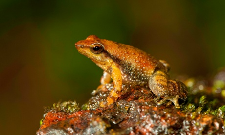 One of the 14 new species of so-called dancing frogs discovered by a team headed by University of Delhi professor Sathyabhama Das Biju in the jungle mountains of southern India Photograph: Satyabhama Das Biju/AP