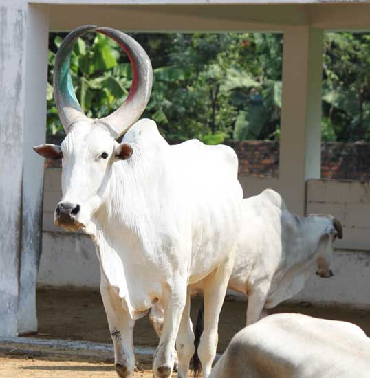 white bull long hornsIMG_3721 2