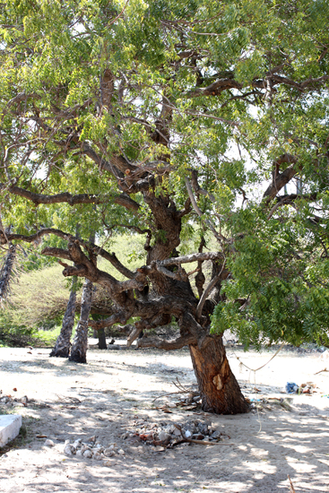 A tree at Rameshwaram.