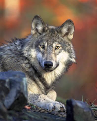 Gray_wolf : Gary Kramer USFWS