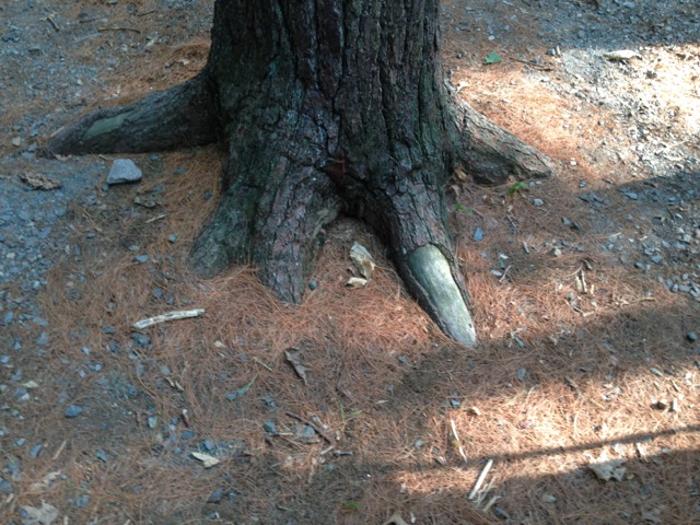 Tree in Woods with Dragon Toe