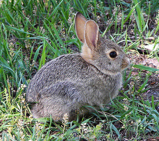 512px-Rabbit_in_montana