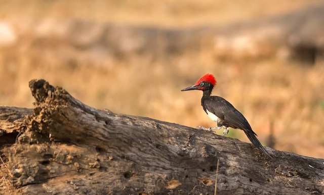 white bellied woodpecker by Pallavi Kaiwar
