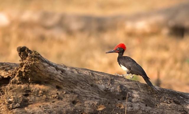 white bellied woodpecker by Pallavi Kaiwar