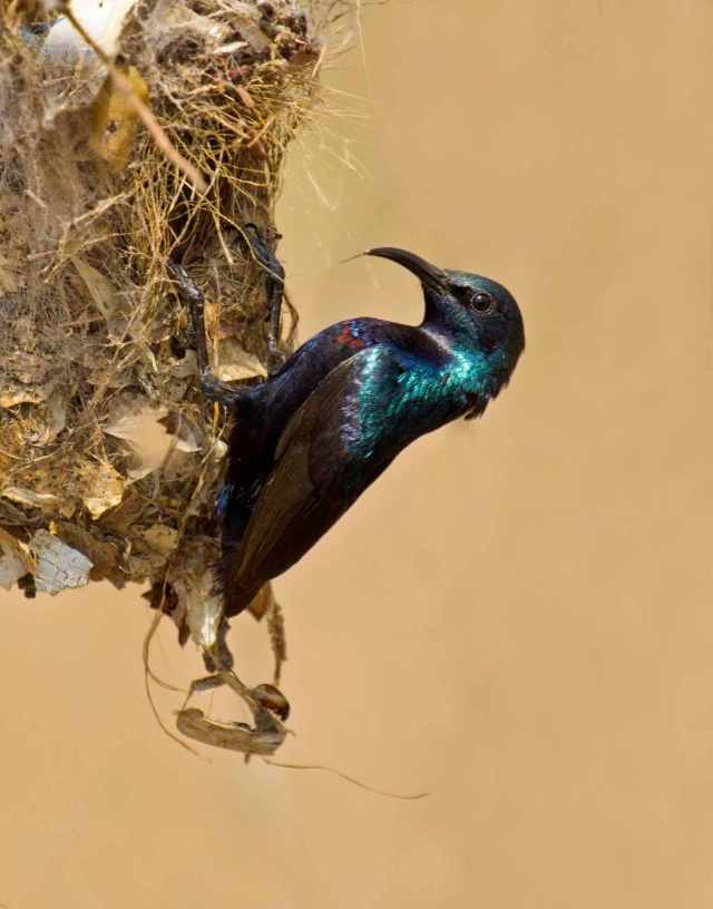 Purple sunbird by Brinda Suresh - RAXA Collective