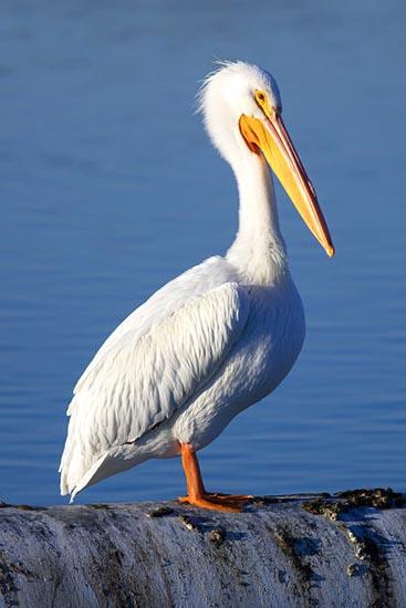 400px-Pelecanus_erythrorhynchos_at_Las_Gallinas_Wildlife_Ponds