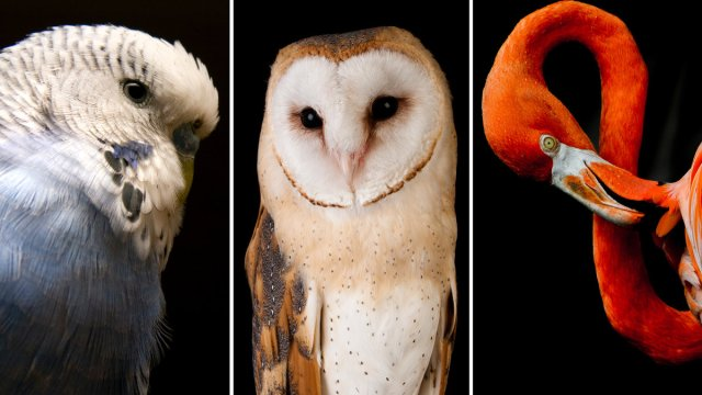 Recent research sequenced 48 bird species, including (from left) the budgerigar, the barn owl and the American flamingo. (Left and center)iStock; (Right) Chris Minerva/Ocean/Corbis