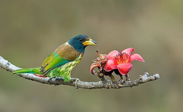 Great Barbet by Dr. Eash Hoskote, - RAXA Collective
