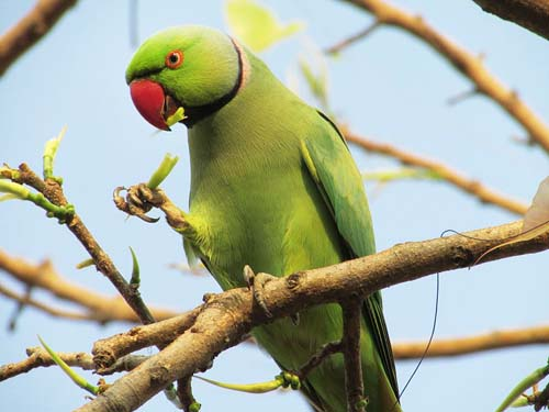 800px-Rose-ringed_Parakeet_eating_leaves