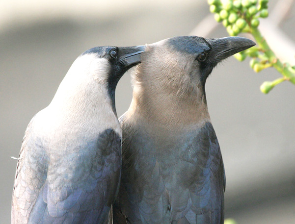 House_Crows_(Corvus_splendens)_grooming_in_Kolkata_I_IMG_4324
