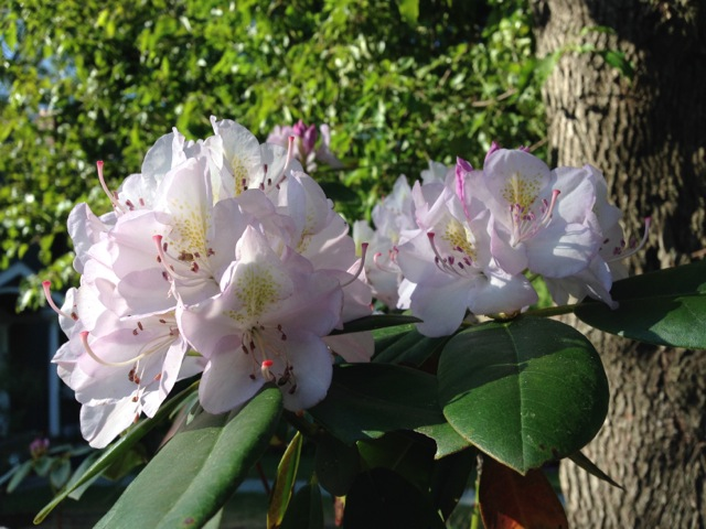 White Rhododendron in bloom