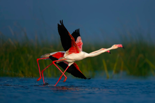 Greater Flamingos by Sudhir Shivaram - RAXA Collective