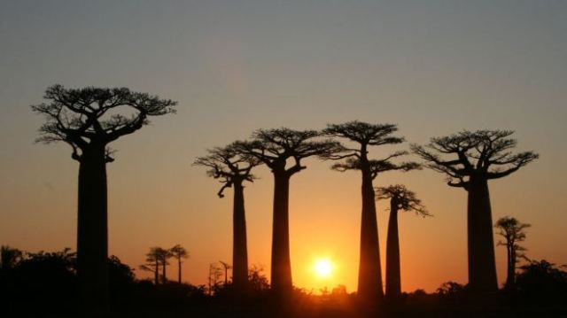The African baobab, though, is most widely distributed both in its home continent and in the neo-tropics where enslaved Africans were brought to work. PHOTO: Gavin Evans