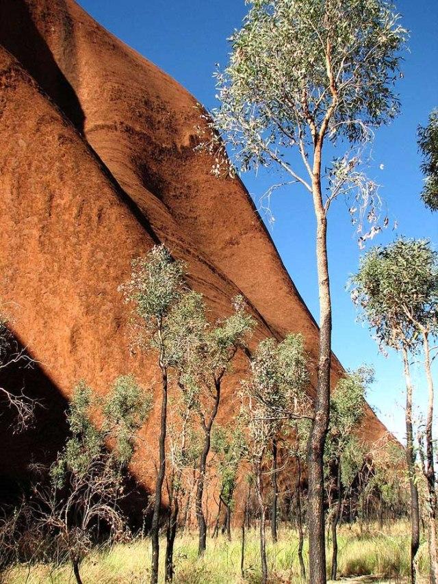 800px-UluruBaseTrees