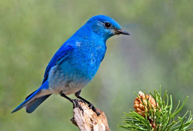 Mountain Bluebird, Cabin Lake Viewing Blinds, Deschutes National Forest, Near Fort Rock, Oregon