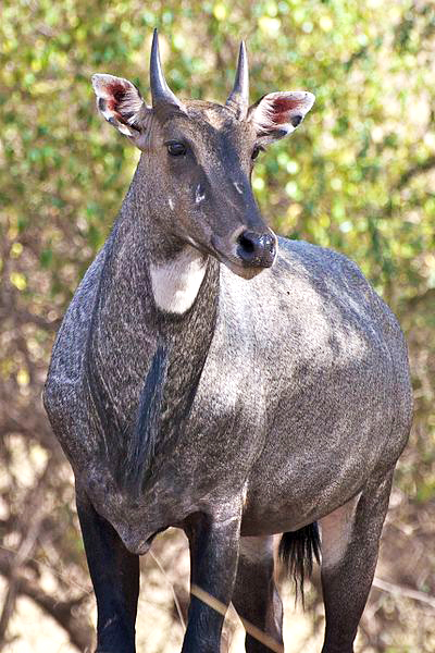 Nilgai_at_Ranthambore-1