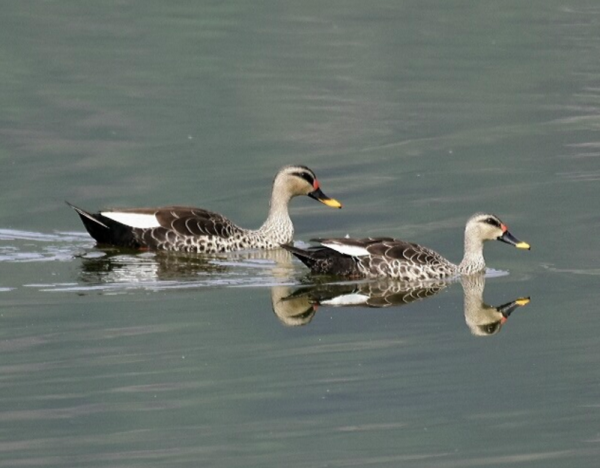 Spot-billed Duck by Vijaykumar Thondaman - RAXA Collective