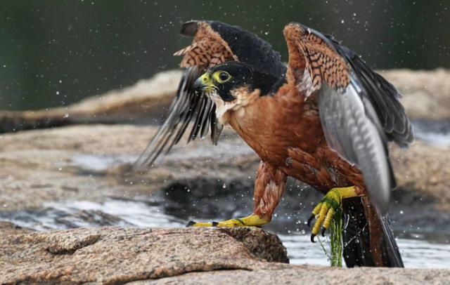Shaheen Falcon by Gururaj Moorching - La Paz Group