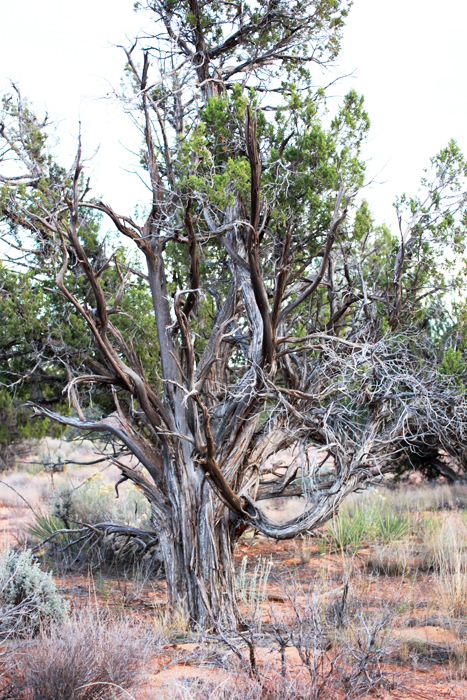 juniper-tree-kane-county-ut-sharon