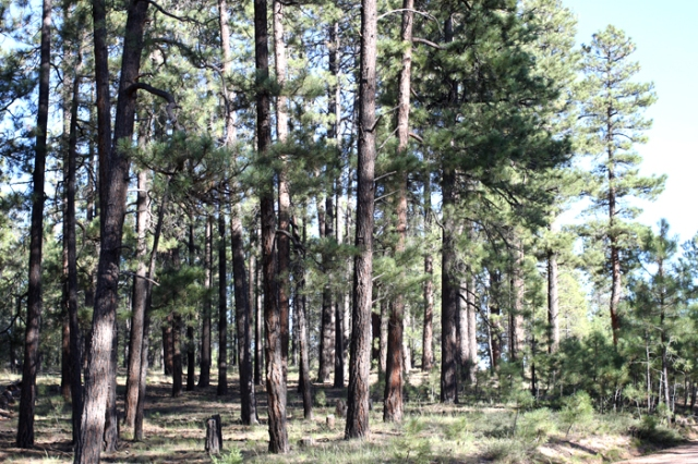 pine-trees-kaibab-forest-sharon