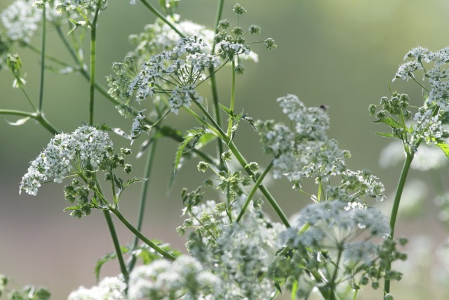 Cow parsley, 25 April 2018