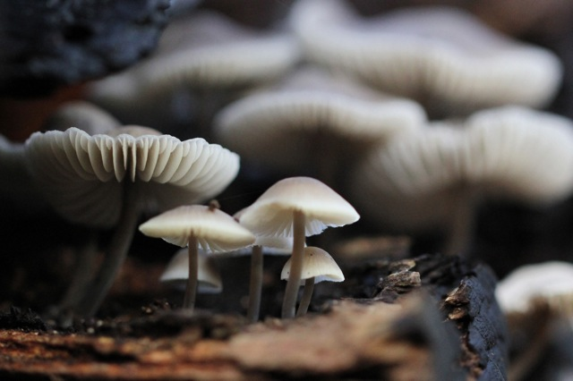 Mycena, in Gooilust, 24 November 2014