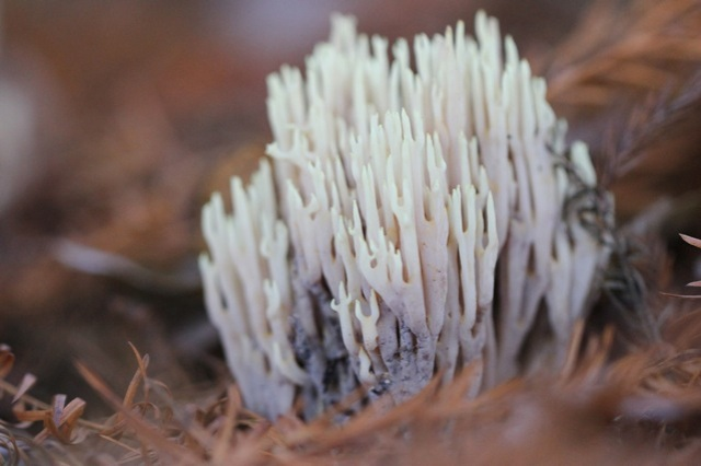 Strict-branch coral fungi, Gooilust, 24 November 2014